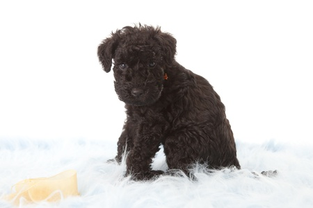 kerry: Kerry Blue terrier puppy