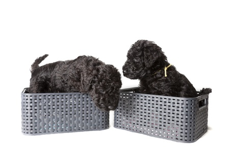 kerry blue terrier: Kerry Blue terrier puppies
