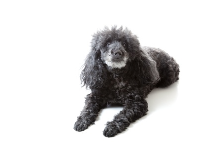 Poodle on white background photo