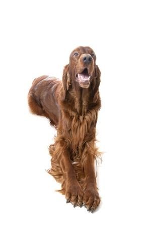 Irish Setter on white background photo