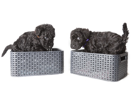 Kerry Blue terrier puppies photo