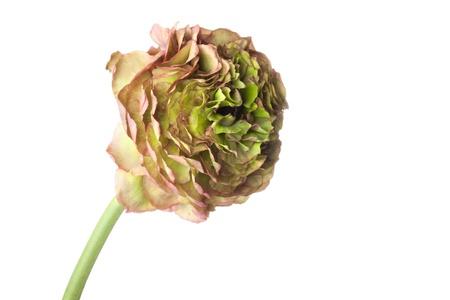 buttercup flower: Rare Persian Buttercup flower Stock Photo