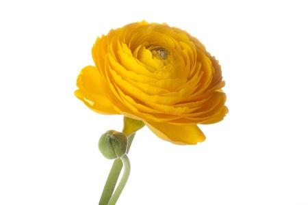 buttercup flower: Yellow Buttercup flower