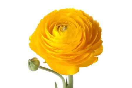 Yellow Buttercup flower photo
