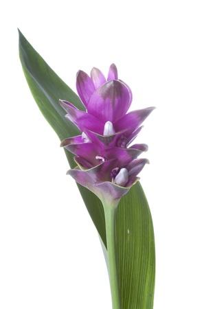 Purple Turmeric Flower