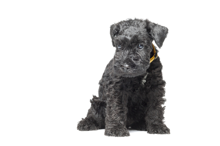 kerry blue terrier: Seven week old Kerry blue terrier puppy