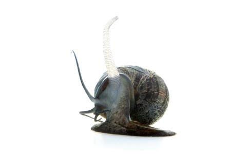 apple snail: Apple snail on white background