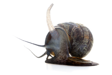 Apple snail on white background