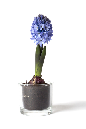 Hyacinth in glass container on white background