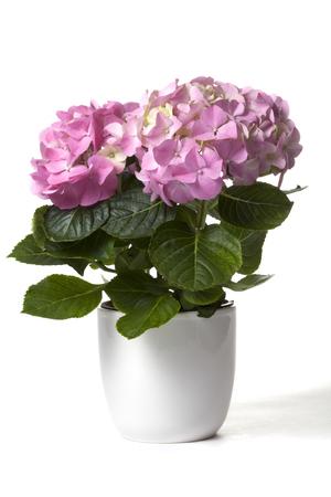 Hydrangea in white flower pot Stock Photo