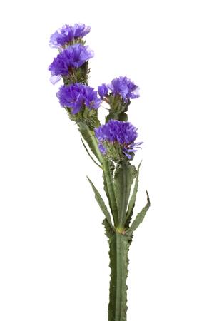 statice flower Фото со стока
