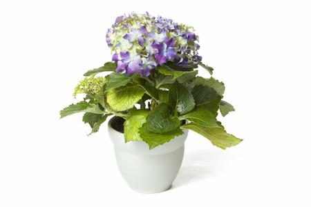 Purple Hydrangea in flower pot