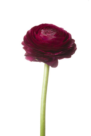 Red purple buttercup flower isolated on white background Stock Photo
