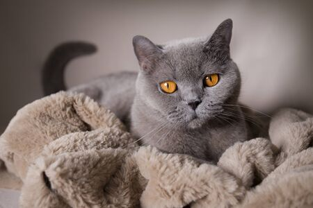 Blue british shorthair cat wrapped in a furry blanket 版權商用圖片