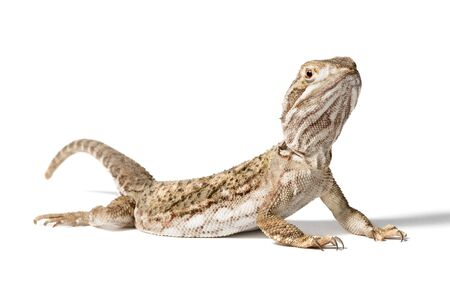 Rankin s dragon isolated on a white background