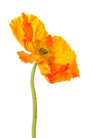 Orange poppy flower isolated on a white background