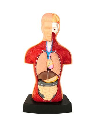 Body insides human body photo