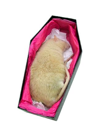 scavenger: Dead rat coffin Stock Photo