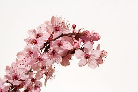 flor de cerezo: Flor de cerezo