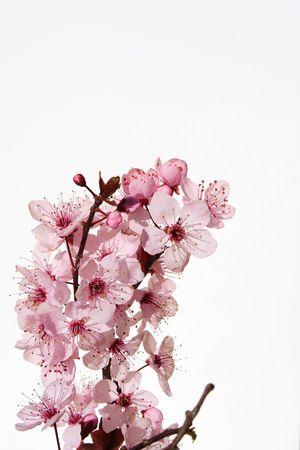 cerisier fleur: Cerisiers en fleur  Banque d'images
