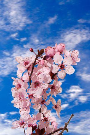 Cherry blossom blue sky background Stock Photo - 551901