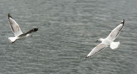 larus: Flying high seagulls