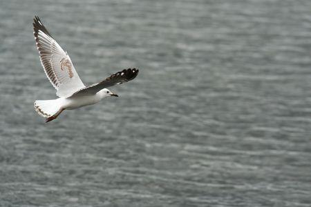 beack: Flying seagull
