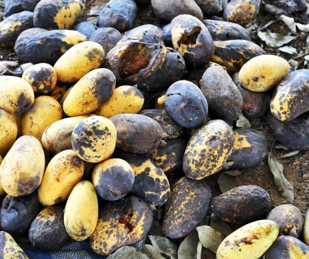 wastrel: Rotten mango