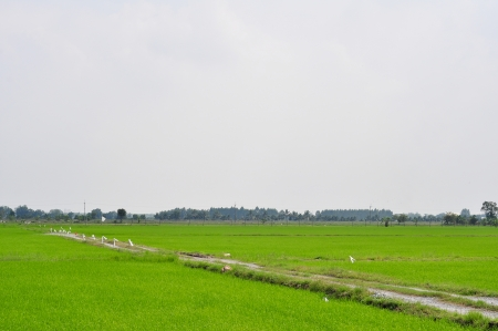 Thailand rice farms photo