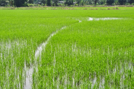 baby rice: baby rice in fields