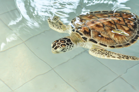 Cultured sea turtle in pool  photo