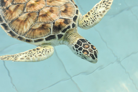 Cultured sea turtle photo