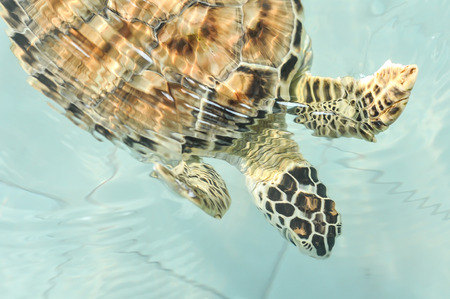 Cultured sea turtle photo
