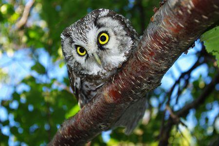 Owl (Aegolius funereus) on a tree branch in different poses