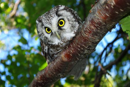 Owl (Aegolius funereus) on a tree branch in different poses