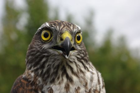 the northern goshawk  Photographed close up  against the nature.