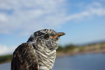 canorus: Cuckoo  (Cuculus canorus), a portrait close up against the dark blue sky.