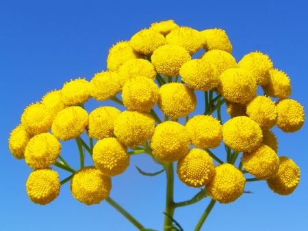 Bright yellow plant on a bright blue background of the sky