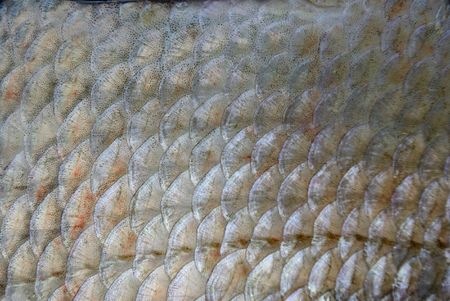 abramis: Scales of bream, caught in the sea on morning dawn.