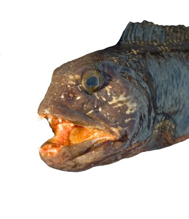 rapacity: The catfish on a white background is shown with all rapacity. Stock Photo