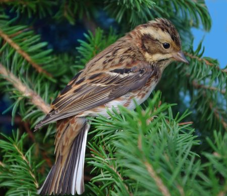 The rustic bunting sitting on a fur-tree branch.