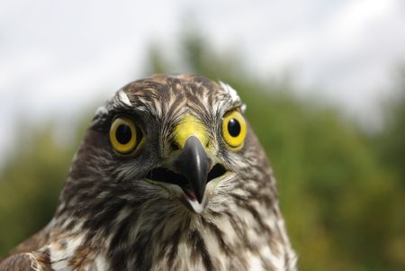 the northern goshawk  Photographed close up  against the nature Stock Photo