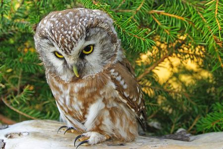 sternly: Owl (Aegolius funereus) on a tree branch in different poses