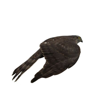 northern goshawk  isolated on a white background, a photo from a back Stock Photo