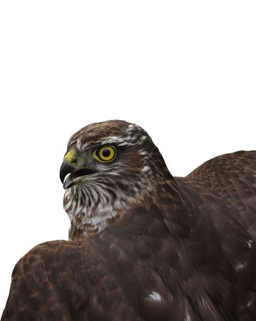 Hawk removed from a back on a white background covered half of shot Stock Photo