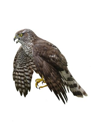 northern goshawk  with the wings lowered downwards on a white background