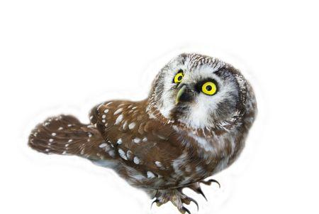 threateningly: Owl (Aegolius funereus) looking upwards on a white background.