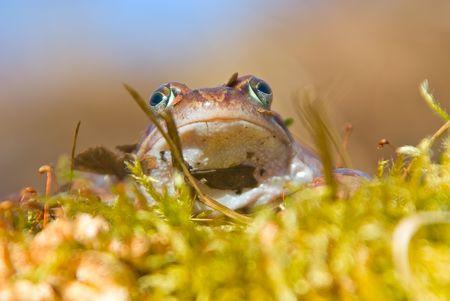 rana arvalis: moor frog  is heated on the sun Stock Photo