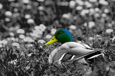 mallard on the bank of small river among a meadow with dandelions photo