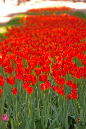 recently: Recently dismissed tulips in an open ground Stock Photo